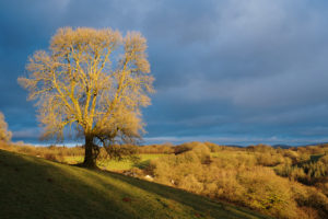 The big ash tree
